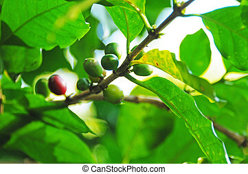 Coffee plant - Picture of a coffe plant growing on...
