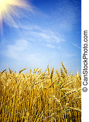 Golden, ripe wheat against blue sky background - Summer view...