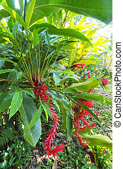 Plants in Honduras - Picture of a ginger flower growing in...