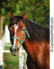 Chestnut horse - Closeup portrait of chestnut horse with...