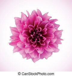 Chrysanthemum Vector - Single chrysanthemum flower head...
