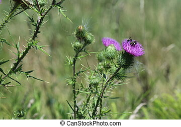 Bull Thistle with Bees - Bees on top of a Bull Thistle Bull...