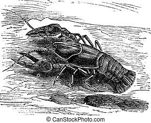 Lobster or Crayfish or Astacus sp., vintage engraving. Old...