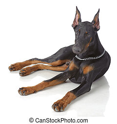 Puppy od doberman laying isolated on white