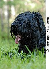 Black russian terrier - Portrait of black russian terrier