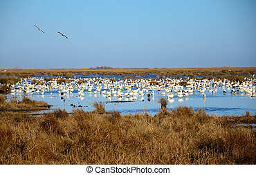 Snow Bird Haven - Snow Birds flock on the water on a swampy...