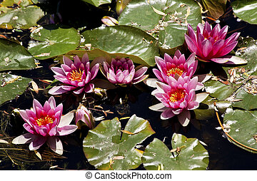 Pink Water Lillies Beijing China - Pink Water Lillies...