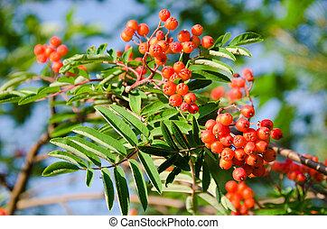 Rowan fruits, Sorbus aucuparia - Ripe rowan fruits on the...