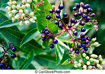 Black Elder berries - Black ?lder berries - dark ripe...