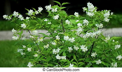 Jasmine flowers - Jasmine easily swinging in the breeze