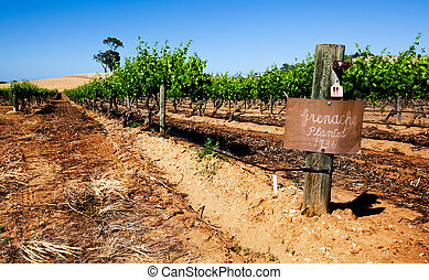 Vineyard Scene - Vineyard in the Barossa Valley, SA