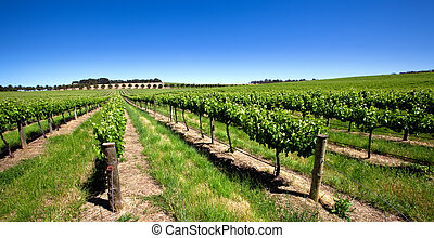 Vivid Green Vineyard - Vineyard in the Barossa Valley, South...
