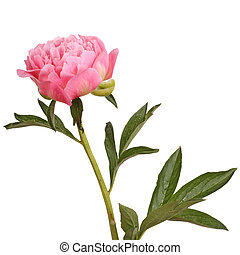 Pink peony flower and stem - One double flower, stem and...