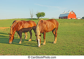 Horses and a barn - Several Belgian draft horses graze on a...