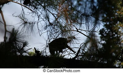 hawk plucking a bird - a hawk in near silhouette prepares...