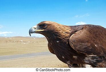 The bird of prey in the Mongolian desert.