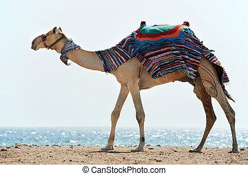 camelo, vermelho, mar, praia