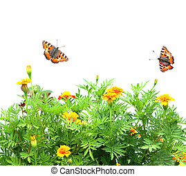Flowers Tagetes patula and butterflys. Isolated over white