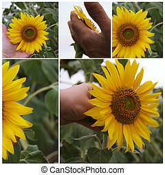 Collage with sunflowers
