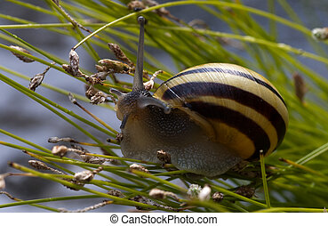 Cepaea hortensis small snail on a green grass