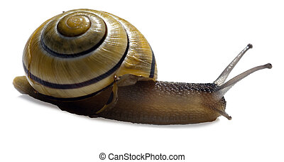 Cepaea hortensis small snail on a white background