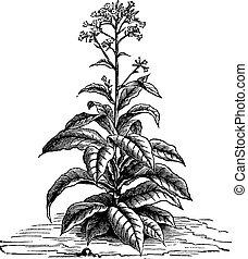 Tobacco Nicotiana tabacum, vintage engraving - Tobacco...