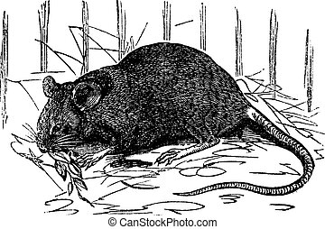House mouse or Mus musculus vintage engraving