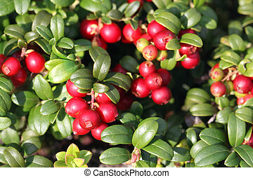 Cowberry (Vaccinium vitis-idaea) - Cowberry or lingonberry...