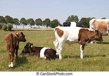 Lakenvelder cattle in Dutch landscape