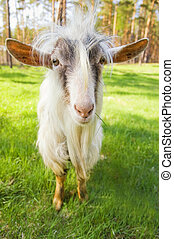 Funny goat on a meadow chewing fresh green grass