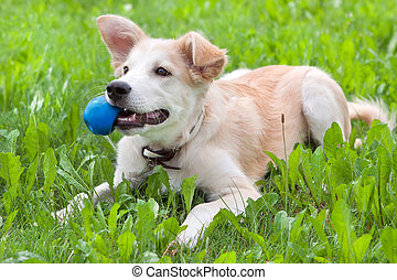 puppy with a ball in his teeth - golden retriever puppy on...