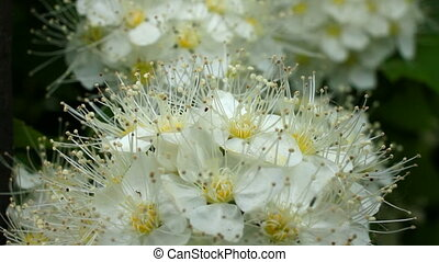 White blossoms of hawthorn