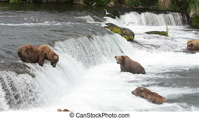 Brown bears at brooks falls - Alaskan brown bears wait for...