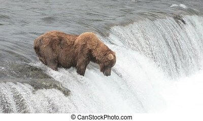 Alaskan brown bears wait for salmon at Brooks Falls in...