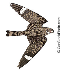 Lesser Nighthawk in flight - Lesser Nighthawk Chordeiles...