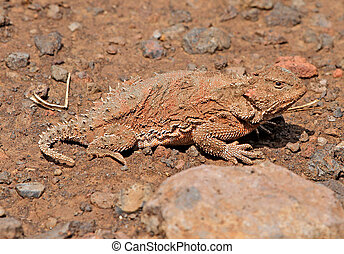 Greater Short-horned Lizard Phrynosoma hernandesi in Arizona...