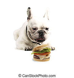 Bulldog with Cheese Burger - hungry white french bulldog...