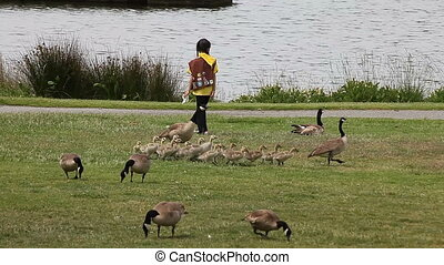 kids and goslings in the park - children and families with...