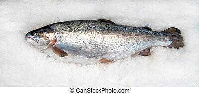 trout salmonid on ice - salmonid trout fresh on ice