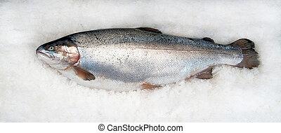 trout salmonid on ice - salmonid trout fresh on ice