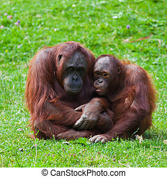 Orangutan mother and child - Female and baby of Bornean...