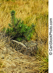 Stump and little pine-tree.