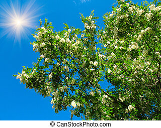 Splendid blue sky with sun and white acacia . - Blue sky...