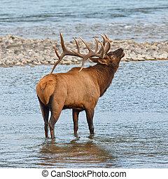 Bugling bull elk, cervus canadensis, in Athabasca River,...