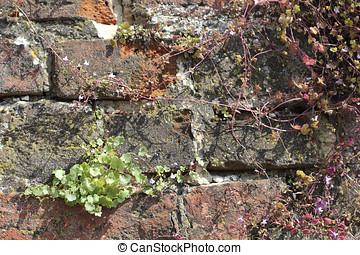 Ivy-leaved toadflax, Cymbalaria muralis at a brick wall
