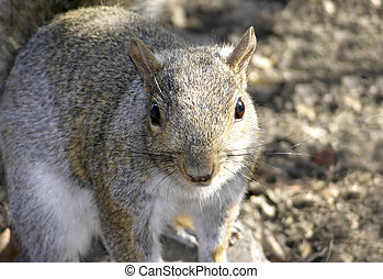 Common Squirrel - Squirrel, family of Sciuridae or rodent....
