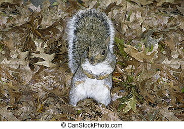 Squirrel, family of Sciuridae or rodent