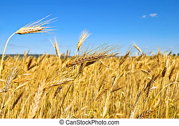 Wheatfield - Golden ears of wheat against a blue sky