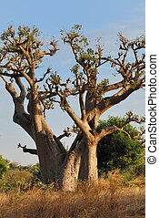 Baobabs in savanna - Baobabs in savanna ,landscape of...