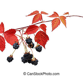 Branch of Blackberry with leaf